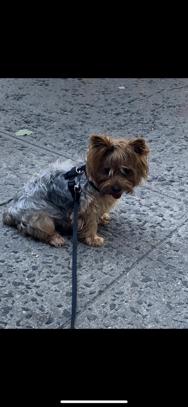 Lost Yorkshire Terrier in Bronx, NY US
