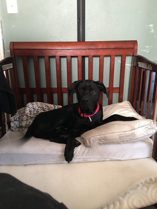 Lost Labrador Retriever in Statesville, NC US