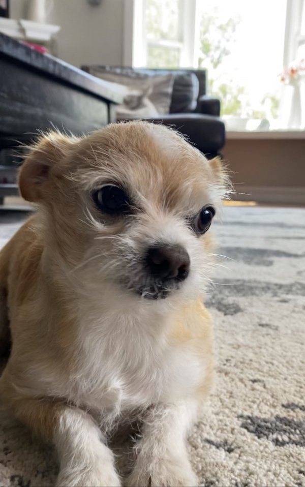 Lost Chihuahua in Simi Valley, CA US