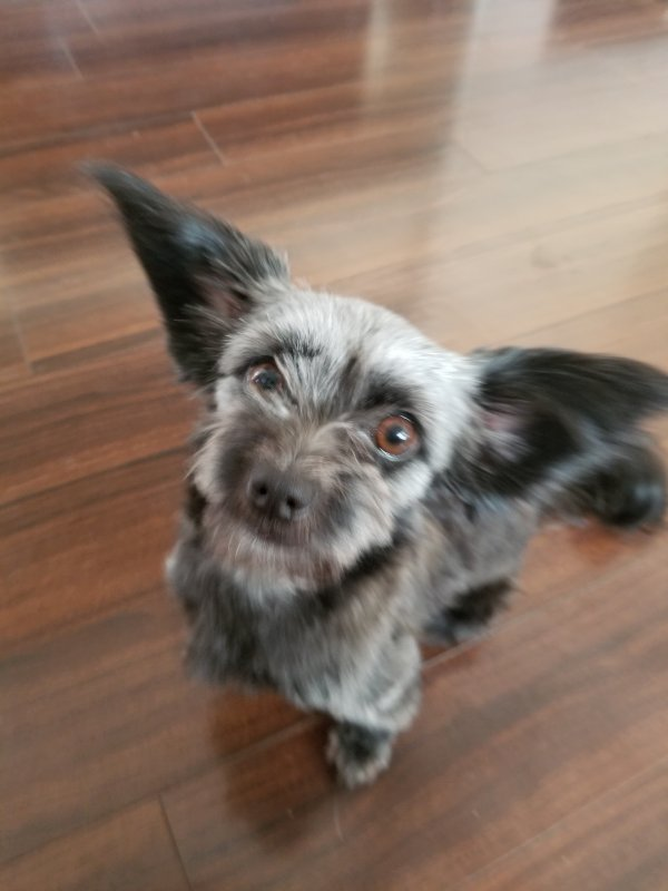 Reunited Lost Papillon in Las Vegas, NV US