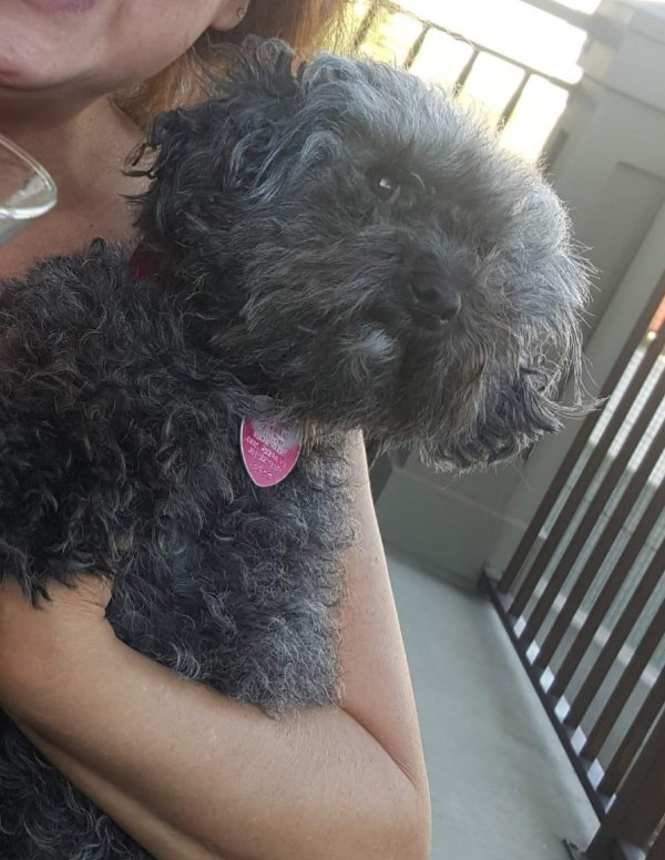 Lost Poodle in Henderson, CO US