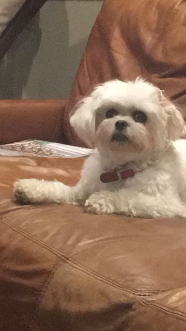 Lost Maltese in Oxnard, CA US