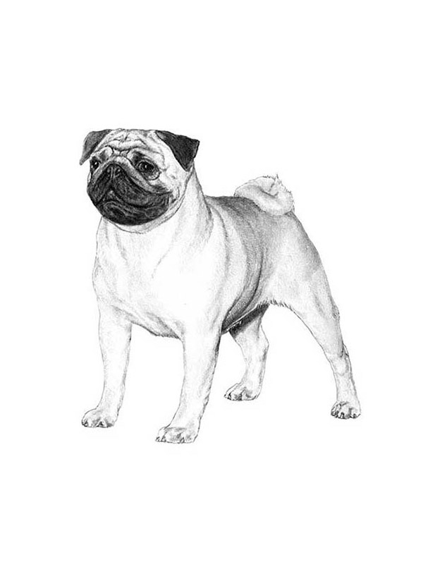 Lost Pug in Riverside, CA US