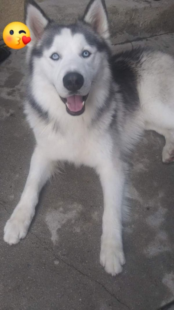 Lost Siberian Husky in Los Angeles, CA US