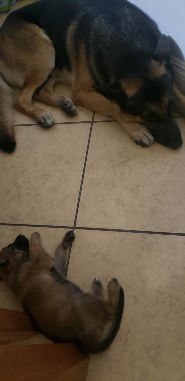 Lost German Shepherd Dog in Los Angeles, CA US