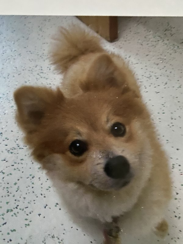 Lost Pomeranian in Amherst, OH US