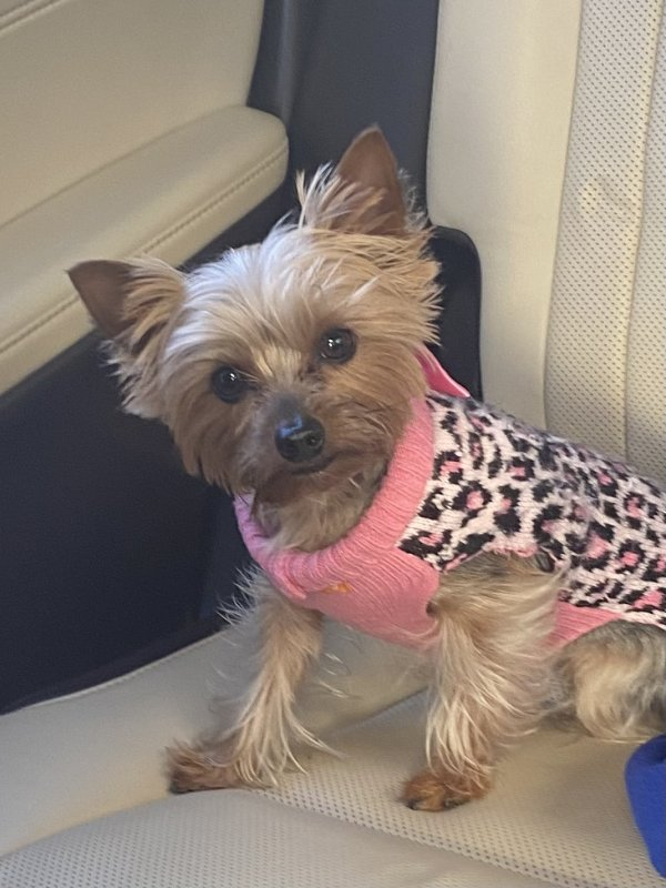 Lost Yorkshire Terrier in Sacramento, CA US