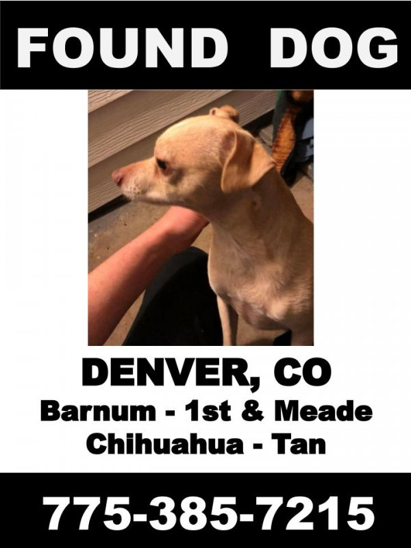 Found Chihuahua in Denver, CO US