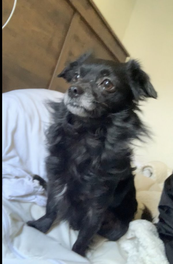 Lost Chihuahua in Alhambra, CA US