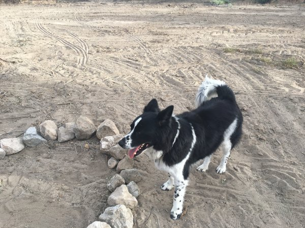 Lost Border Collie in Phelan, CA US