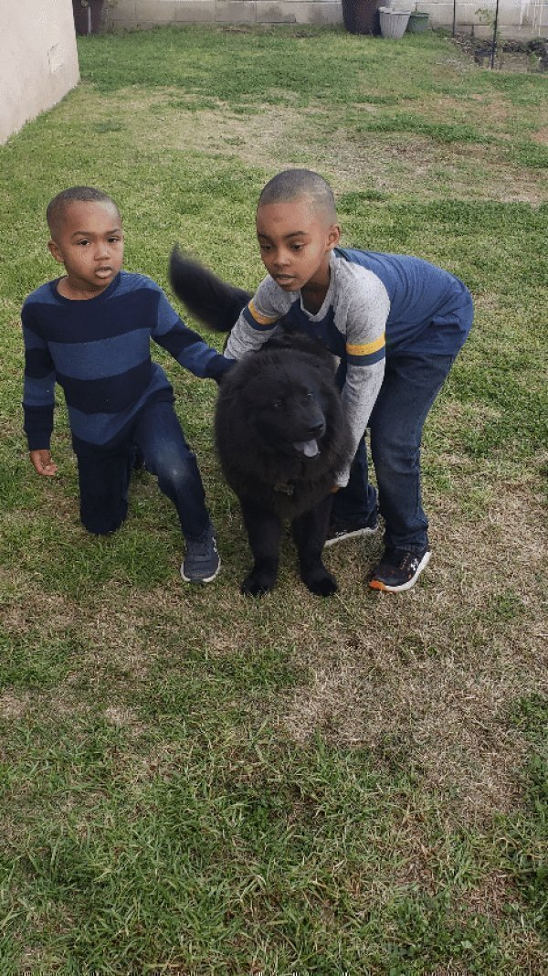 Lost Chow Chow in Los Angeles, CA US