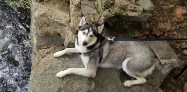 Lost Siberian Husky in Havertown, PA US