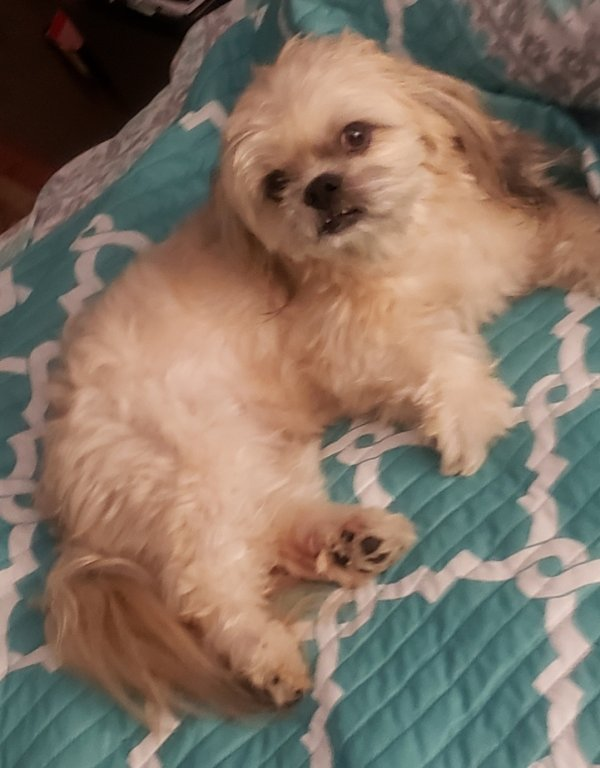 Lost Lhasa Apso in Hempstead, NY US