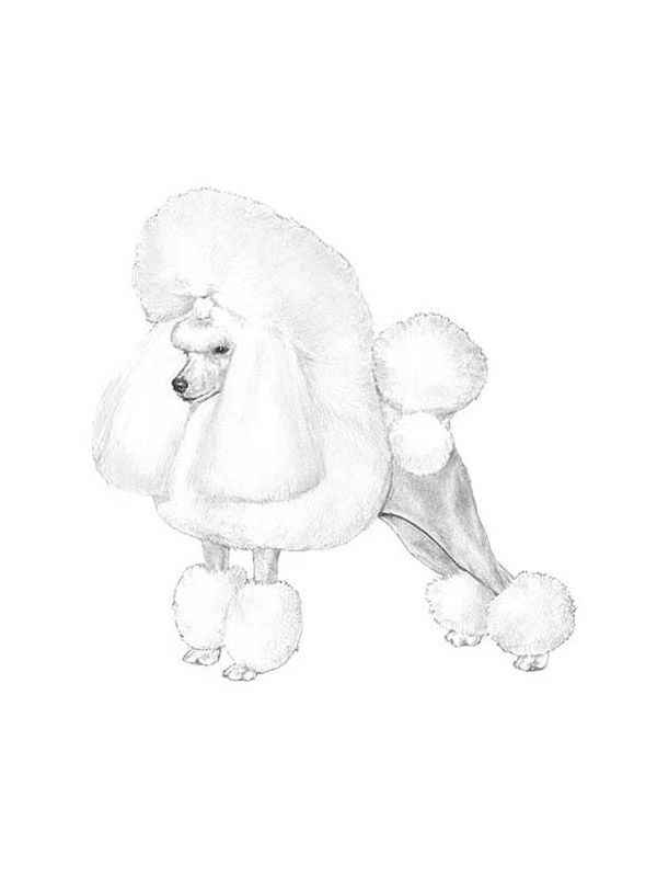 Lost Poodle in Woodbridge, CT US