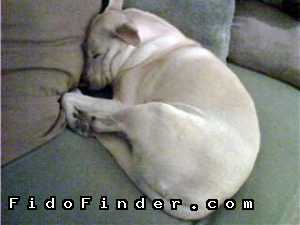 Safe Labrador Retriever in Houston, TX US