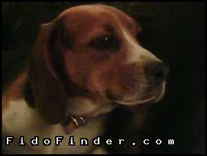 Safe Beagle in Glendale, AZ US