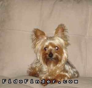 Safe Yorkshire Terrier in Denver, CO US